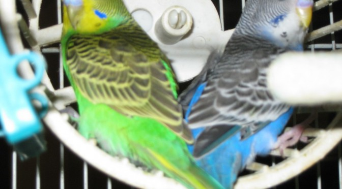 Neon and Plum - Budgies in exercise wheel.